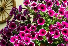 5 правил обильного цветения петуний