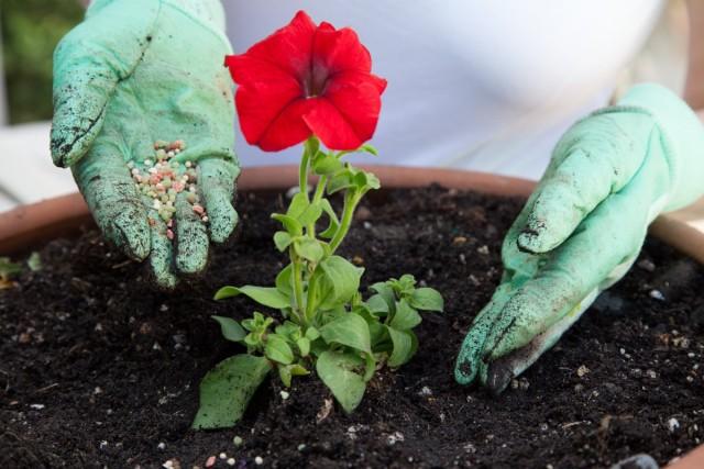 При контейнерном выращивании петуний в посадочную емкость обязательно добавляются «долгоиграющие» удобрения для красивоцветущих растений
