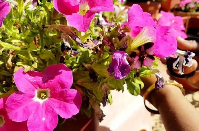 Удаление отцветших цветков проводится для поддержания опрятного вида петунии, это никак не стимулирует цветение