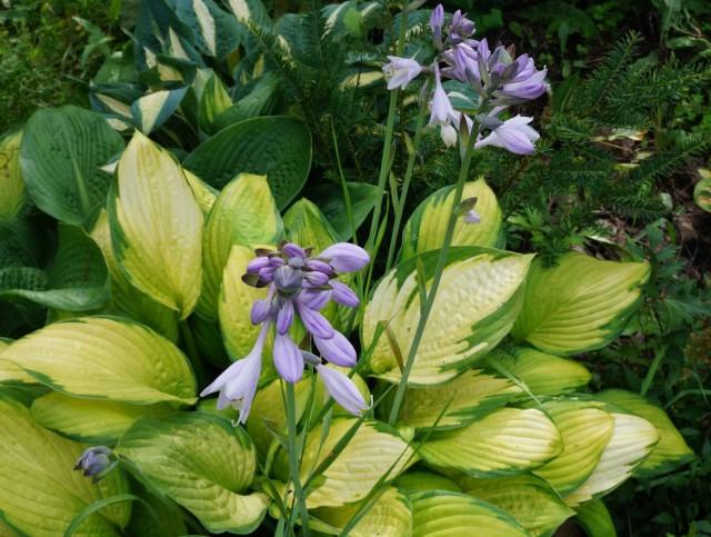 Цветки хосты можно рассматривать, как дополнительный плюс этих растений