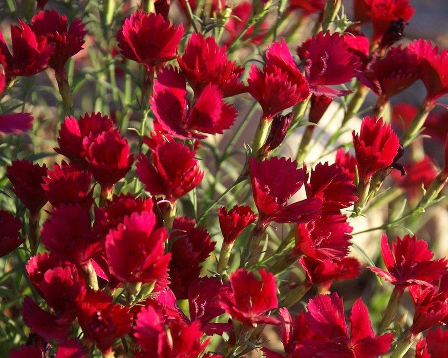 Dianthus-deltoides-Zing-Rose-1
