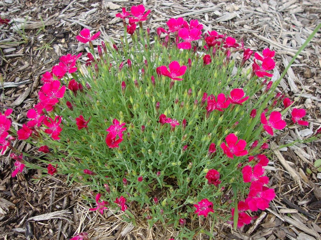 Dianthus-deltoides-Zing-Rose-2