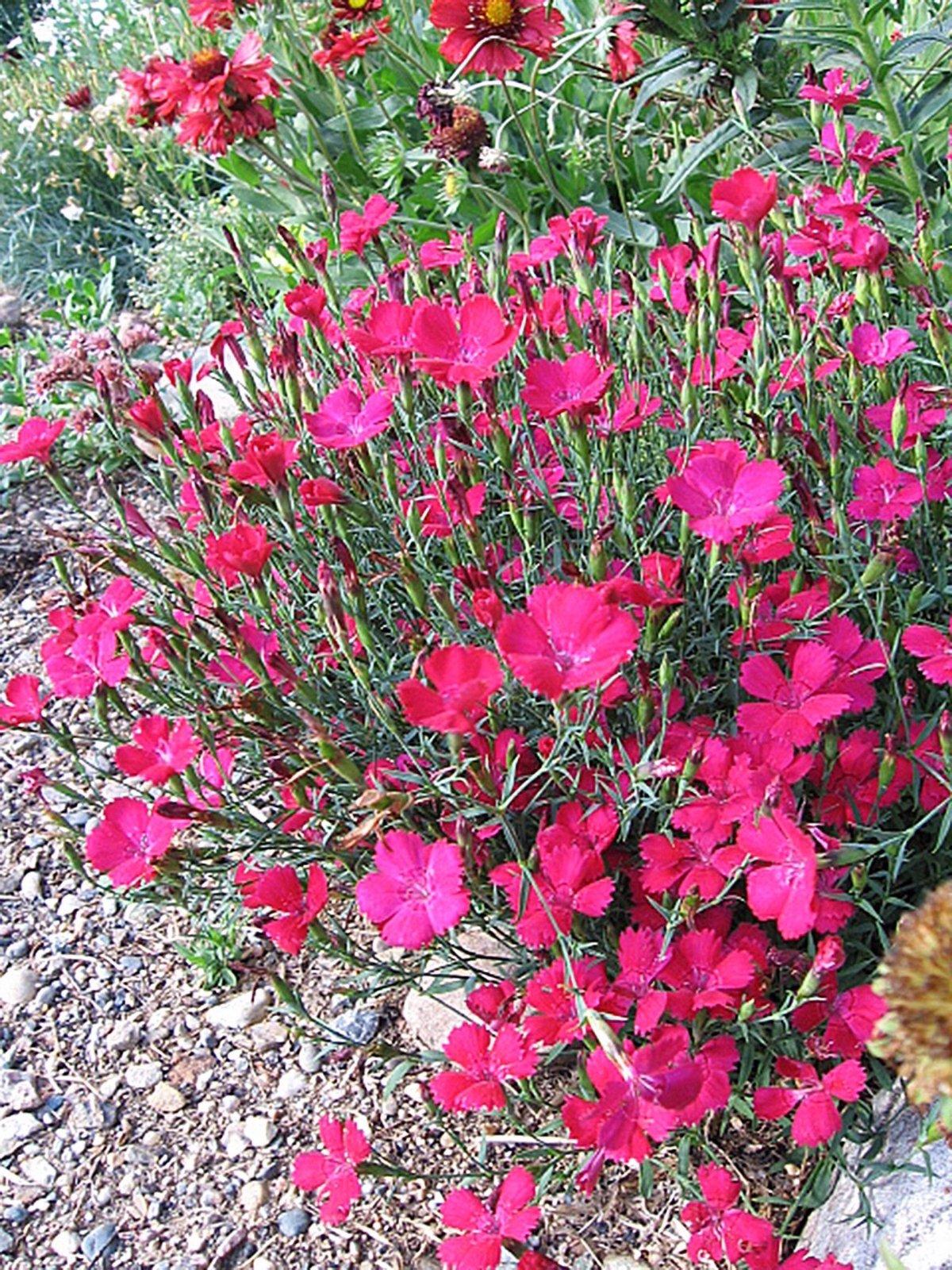 Dianthus-deltoides-Zing-Rose-3