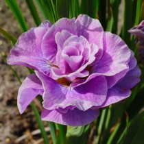 Ирис сибирский «Пинк Парфе» (Iris Sibirica 'Pink Parfait')