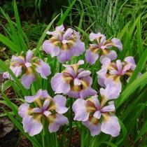 Ирис сибирский «Рикуги Сакура» (Iris Sibirica 'Rikugi Sakura')