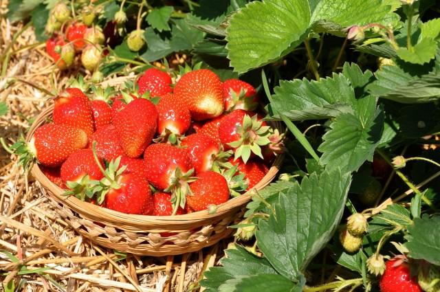 Чем подкормить клубнику после плодоношения
