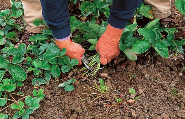 Если листья клубники поражены болезнями или вредителями, почти всю зелёную массу после плодоношения лучше обрезать