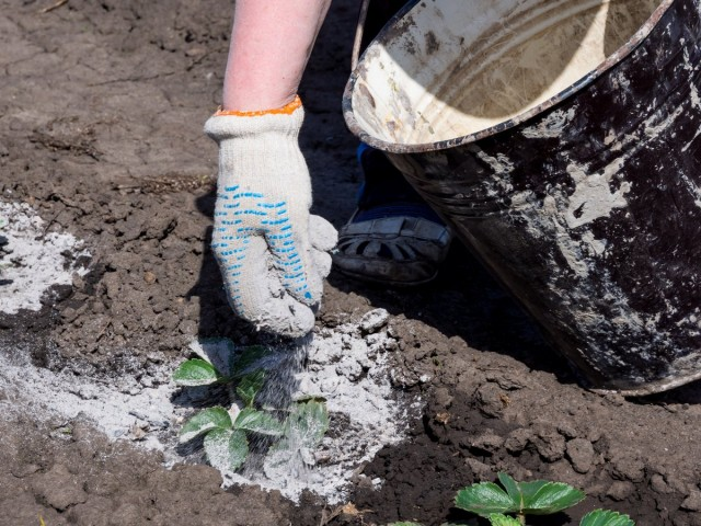 Зола насыщает почву микроэлементами и защищает клубнику от вредителей