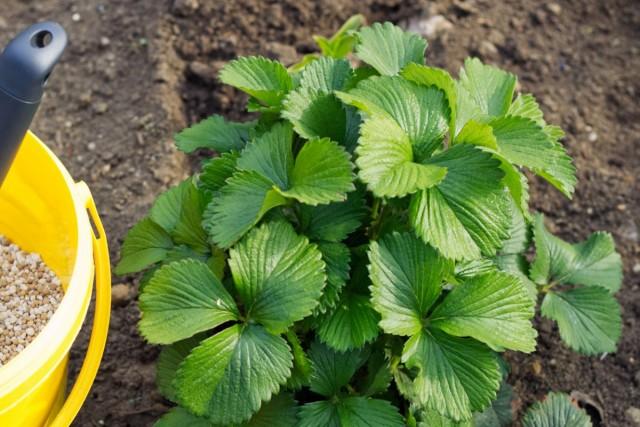 Для успешного формирования цветочных почек следующего сезона землянику садовую необходимо подкормить фосфорно-калийными удобрениями