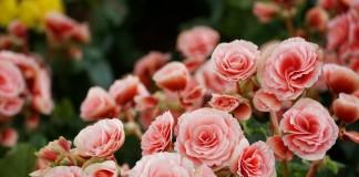 Комнатная бегония Элатиор — пышное цветение почти круглый год