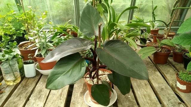 Филодендрон краснеющий — одно из растений, которые хорошо подходят для гидропоники