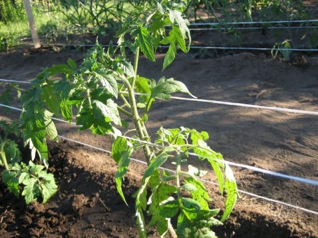 Шпалерный метод подвязки томатов подразумевает коллективную поддержку растений
