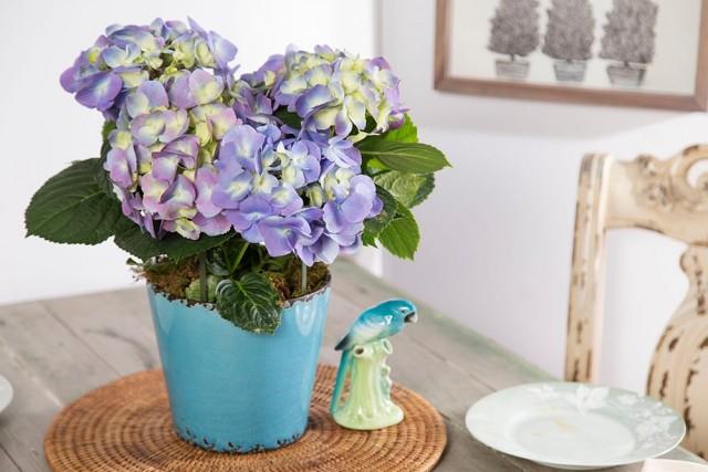 Гортензии комнатного формата цветут совсем не в те же сроки, что и их садовые собратья