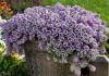 Комнатный алиссум — «подушки» цветов и медовый аромат