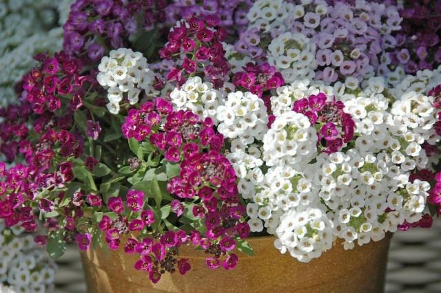 Если подкармливать алиссум регулярно, но не помногу, он будет радовать цветением все лето