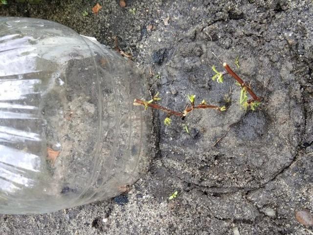 Очень удобно накрывать черенок отрезанной пластиковой бутылкой