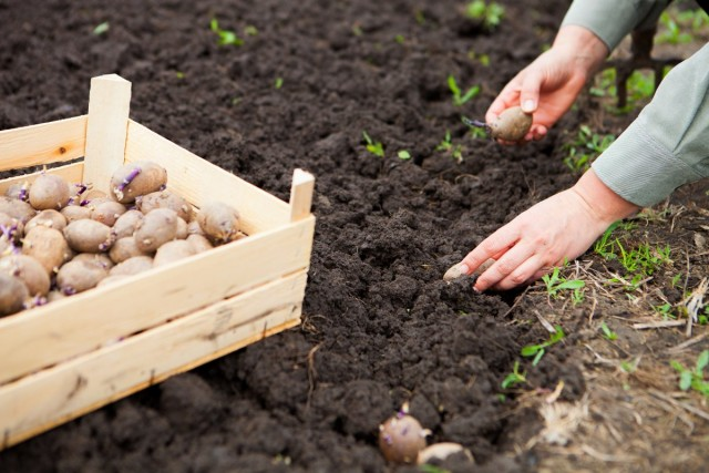 Зачем сажать картофель летом?