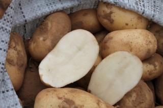 Картофель «Удача»