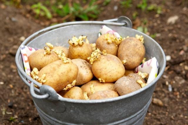 Тщательно выбирая здоровый материал для посадки, соблюдая севооборот и подбирая устойчивые против фитофторы сорта картофеля, можно её избежать