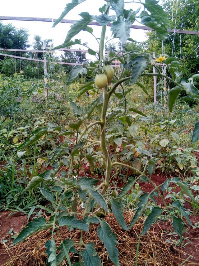 Формирование томата в один ствол