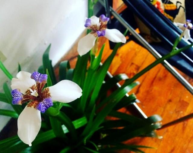 Неомарика изящная, или стройная (Neomarica gracilis)