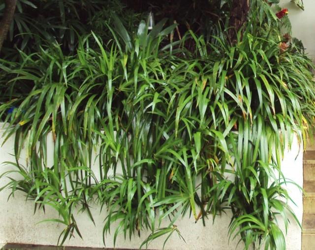 Отделение новых ростков неомарики проводят только тогда, когда растение выпустит корни и начнет активно расти
