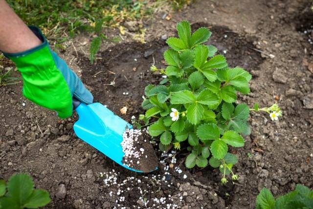 Мне для моей плантации хватает 2-х кг специальных «удобрений для клубники» на весь сезон