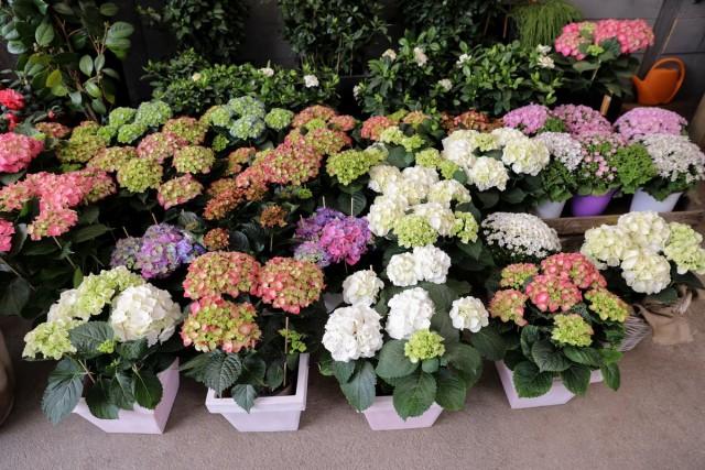 Не покупайте весной для посадки в саду уже цветущие кустарники гортензии