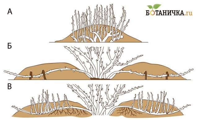 Рис. 1. Размножение растений отводками. а) вертикальными; б) горизонтальными; в) укорененные горизонтальные отводки