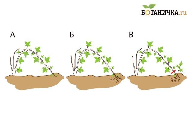 Рис. 4. Размножение верхушечными отводками. а) Присыпаем верхушку плети почвой; б) Верхушка плети перестаёт расти и укореняется; в) Отделяем молодой куст от маточника