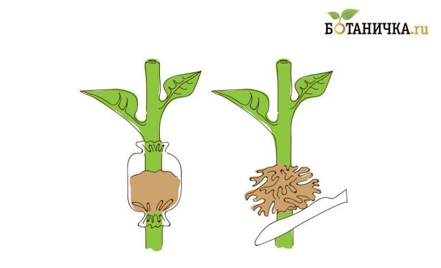 Рис. 5. Размножение воздушными отводками