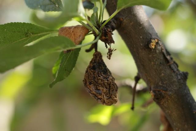 Мумифицированный плод сливы