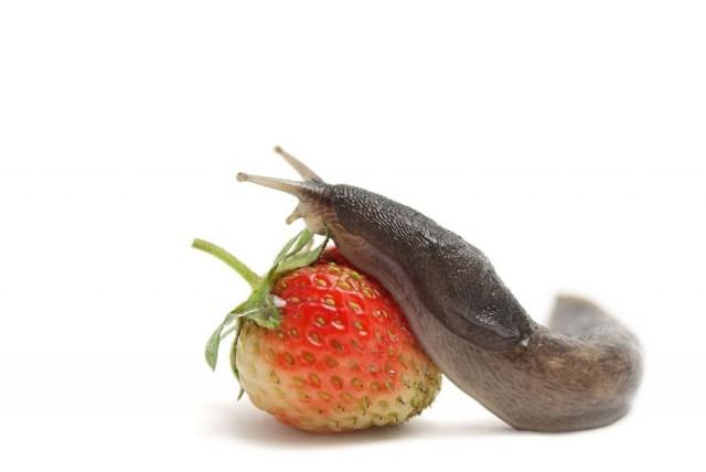 Слизни, как и улитки, повреждают не только зелень, но и плоды растений