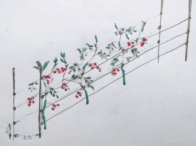 Схема моей шпалеры для томатов: высота опор 120-150 см, между горизонтальными растяжками - 20-25 см, первая – в 30 см над землей