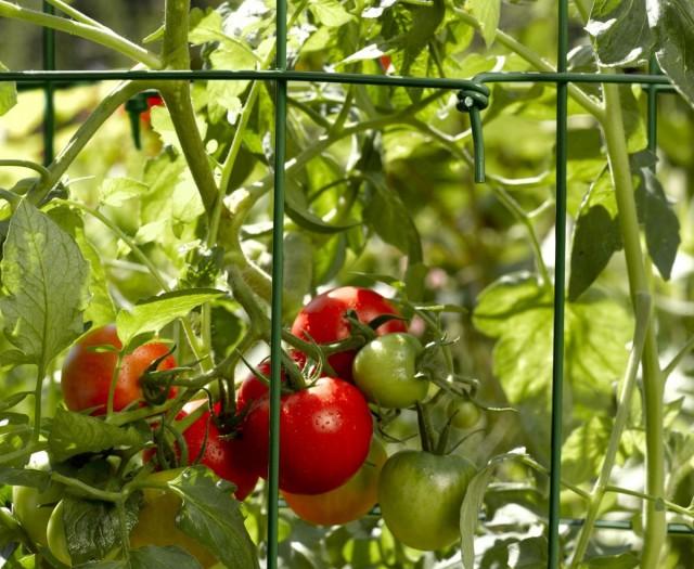 Как я выращиваю томаты на шпалере
