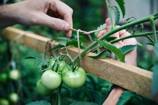 При шпалерном методе выращивания томатов важно вовремя фиксировать кисти с плодами на опорах