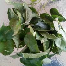 Свежесобранные листья яблони для чая