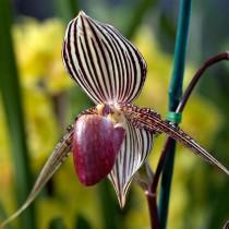 Пафиопедилюм Ротшильда (Paphiopedilum rothschildianum)