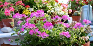 Видовые пеларгонии — комнатные цветы в стиле «ретро»
