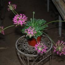 Пеларгония потучневшая (Pelargonium incrassatum)