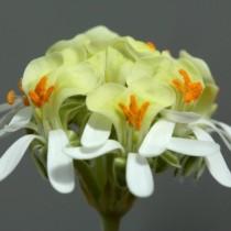 Пеларгония орхидная (Pelargonium ochroleucum)