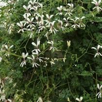 Пеларгония трехнадрезная (Pelargonium trifidum)