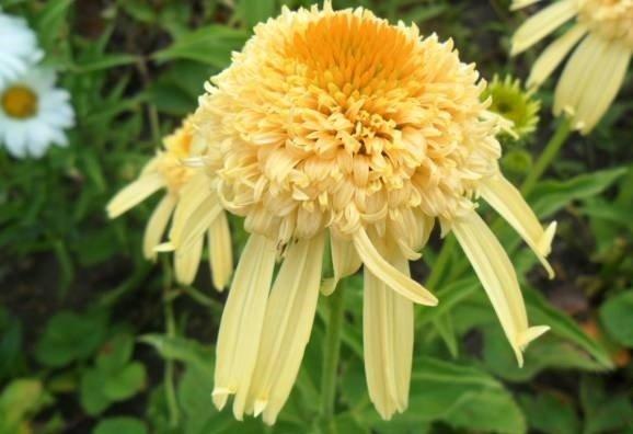 Echinacea-Secret-Joy-1
