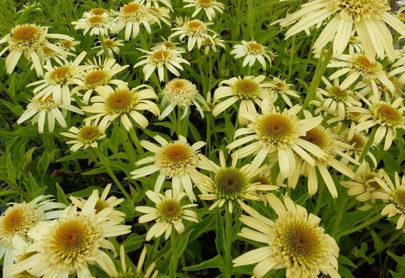 Echinacea-Secret-Joy-2