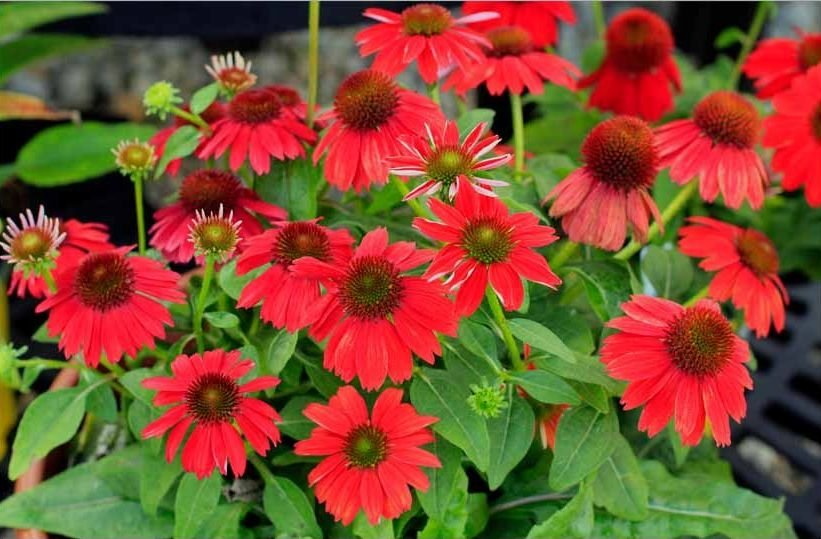 Echinacea-Sombrero-Salsa-Red-2