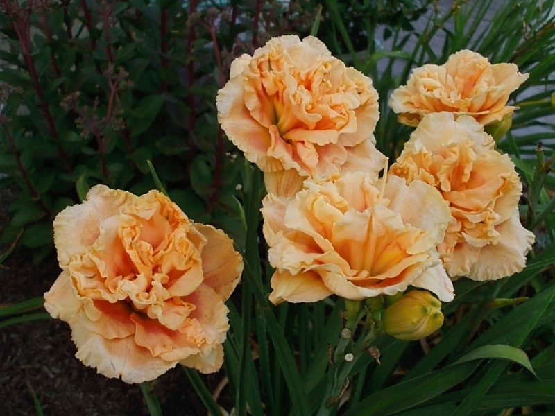 Hemerocallis-Rainbow-Rhythm-Siloam-Peony-Display-1