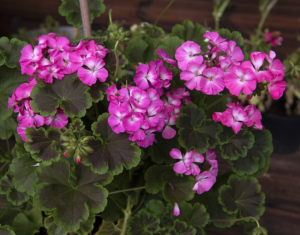 Pelargonium-Black-Velvet-Rose-1