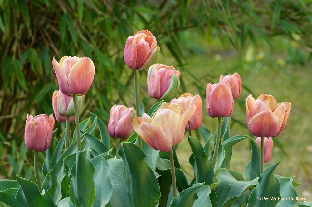 Tulip-La-Belle-Epoque-2