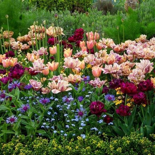 Tulip-La-Belle-Epoque-3