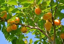 Абрикос в средней полосе — особенности выращивания и лучшие сорта